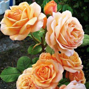 roser4