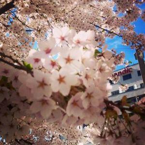 Blomstring på St.Olavs plass