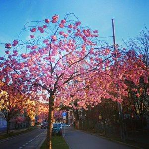 Kirsebærtrærne blomstrer i Kjølberggata