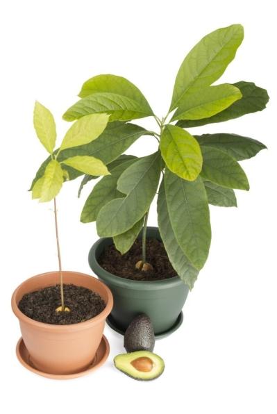 Avokadoplante